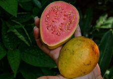 GUAVA PSIDIUM GUAJAVA Fruit Delicious  40 Seeds