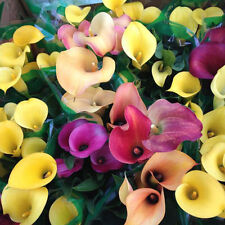 100 X  Bonsai Colorful Calla Lily Seeds Rare Plants Flower Seeds