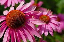 Purple Coneflowers 100+ Seeds Organic, Beautiful Purple Blooms