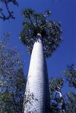 10 seeds of Adansonia samibarensis, Baobab Tree