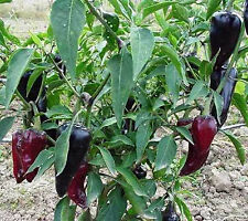 PURPLE JALAPENO PEPPER 20 SEEDS THESE TURN A BEAUTIFUL PURPLE BEFORE IT GETS RED