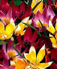 "(2) Perennials  ""Supreme Tulip Species Mix""  New Flower Bulbs"