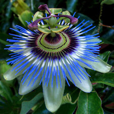 10pcs Tropical Exotic Passion Fruit Seeds Purple Passiflora Edulis Germination L