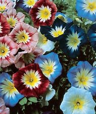 25+  ENSIGN MIX  MORNING GLORY FLOWER SEEDS/ PERENNIAL / CONVOLVULUS