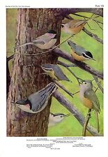 """1936 Vintage FUERTES BIRDS #103 """"CHICKADEE, NUTHATCH"""" Color Plate Lithograph"""