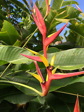 HELICONIA TROPICAL RARE GINGER PLANTS (3 BULBS/RHIZOMES EXOTIC
