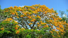 FLAMBOYANT, Flamboyan ORANGE naranja Delonix regia. 10 Semi seeds