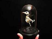 Entomologie / Cabinet de curiosités Globe verre squelette d'oiseau d'Indonesie
