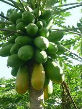 15 Thai Very Sweet Papaya Seeds,Red Bright Flesh Delicious Tropical fresh fruit