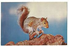 BUSHY TAIL SQUIRREL The ORIGINAL NUT-CRACKER Postcard Vintage