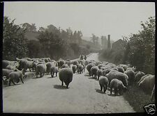 Glass Magic Lantern Slide FLOCK OF SHEEP ON THE ROAD C1890 PHOTO FARMING