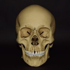 HUMAN SKULL REPLICA ( REAL SIZE ) / VINTAGE FINISH