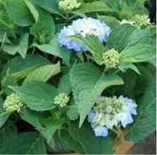 HYDRANGEA macrophylla 'David Ramsey' 1-gallon plant, big leaf hydrangea