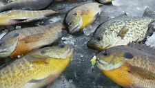 3 AMAZING GLOWING GREEN ICE FISHING FLIPPER JIG CATCHES BIG BLUEGILLS CRAPPIES
