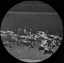 Glass Magic Lantern Slide FLOCK OF GEESE IN A POND C1890 PHOTO