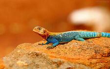 Framed Print - Multi-Coloured Lizard (Picture Poster Animal Gecko Chameleon Art)