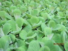 30 Water Lettuce 100% Organic Floating Aquarium/ Pond Plants *LICENSED Grower*