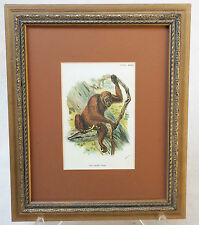 "FRAMED Chromolithograph -  ""THE ORANG-UTAN"" - from  Allen's PRIMATE BOOK -1894"