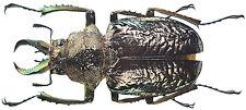 Insect - Sphaenognathus alticollis - C.Peru - Male 35mm+ ....!!