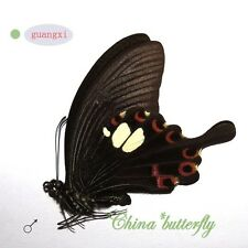 5 unmounted butterfly Papilionidae Papilio helenus GUANGXI SPRING FORM A1  A1-