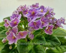 Rob's Combustible Pigeon~African Violet~Plant, Semi-Mini