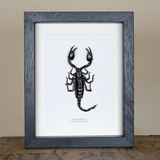 Giant Forest Scorpion In Box Frame (Heterometrus)