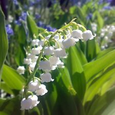 Maiglöckchen•Convallaria majalis•7 Samen/seed•Duft•winterhart•Lily Of The Valley