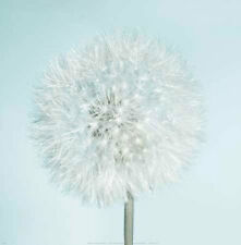 Dandelion II by Kevin  Twomey Flowers Floral Print Poster 12x12