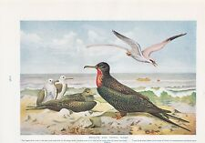1910 NATURAL HISTORY DOUBLE SIDED PRINT ~ PELICANS / FRIGATE & TROPIC BIRDS