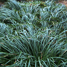 Dwarf Mondo Grass - Size: 1 Gallon - Live Potted Plants - Ophiopogon japonicus '