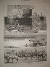 Ostrich Farming at Heatherton Grahamstown South Africa 1878 old print