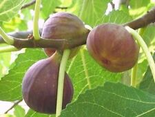 5 Cuttings GUARANTEED to GROW! BROWN TURKEY FIG TREE STARTER PLANT SWEET EATING