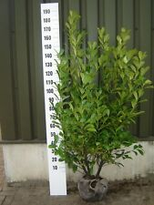 50 Cherry Laurel / Prunus Rotundifolia Hedging 150-180cm (5ft- 6ft) Rootball