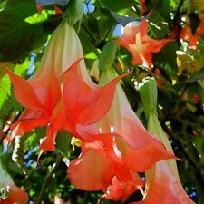 30pcs Red Brugmansia Datura Seeds Angels Trumpets Flower for Home and Garden