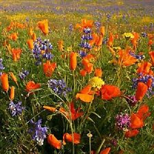 Native Southwest Wildflower Mixture 500 Seeds  Garden Seeds 2u