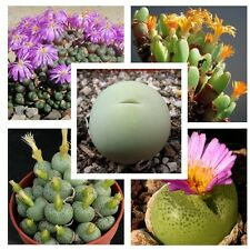 10 Conophytum mixed seeds * Easy grow * Exotic * succulents C24