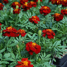 FRENCH Marigold Double Red Cherry Seeds (F 316)