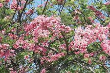 APPLE BLOSSOM TREE (Cassia javanica) 10 seeds