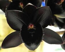 Fredclarkeara After Dark SVO Black Pearl' FCC⁄AOS Orchid Plant Blooming Size