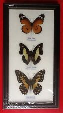 3 REAL BUTTERFLIES BUTTERFLY TAXIDERMY INSECT PICTURE FRAME TIGER NAWAB LIME