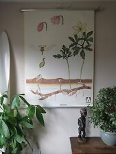 VINTAGE PULL ROLL DOWN  SCHOOL WALL CHART OF ANEMONE FLOWER PLANT BOTANICAL CARD