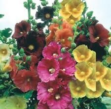 35+ Alcea Rosea Hollyhock Mix Flower Seeds / Perennial