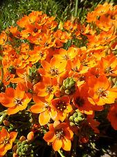 Ornithogalum dubium orange form, 1 PACK OF SEEDS (30 seeds)