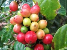 Coffee Bean Tree, Coffea Arabica tropical rare shrub exotic cafe seed  10 SEEDS
