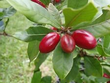 Miracle Berry Fruit Trees - 1 to 2 Feet Tall