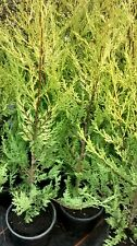 10 X 3.5-4 FOOT TREES GOLD LEYLANDII HEDGING FAST GROWING CONIFER PLANTS 2LT POT