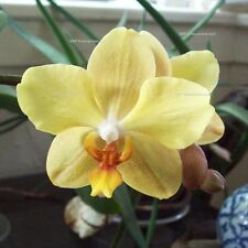 20 Solid Yellow Phalaenopsis Moth Orchid Flower Seed Organically Grown Non GMO