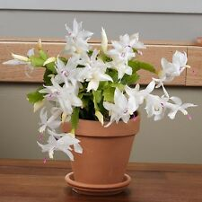 Christmas Cactus - THOR BRITT - Schlumbergera - Easy to Grow - 5 Double Segments