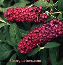 Buddleia davidii Royal Red 20 seeds