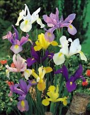 Winter Flower bulb - Iris Bulb mix colour - 5 bulb